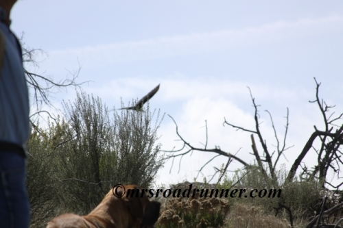 Dive_bombed_vulture_tagged_986