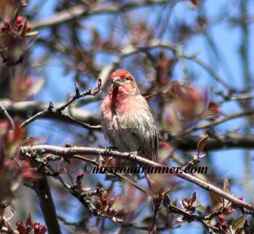 House_finch_tagged_484