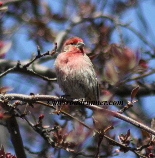 House_finch_tagged_491