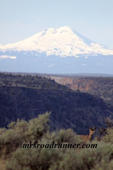 Mule_deer_sisters_mountains_tagged_260