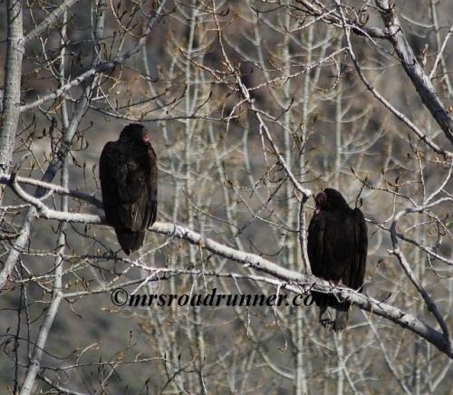 Turkey_vulture_tagged_175
