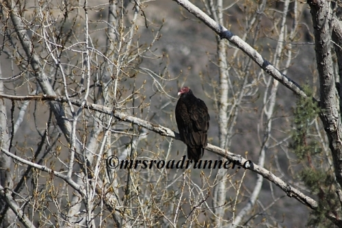 Turkey_vulture_tagged_197