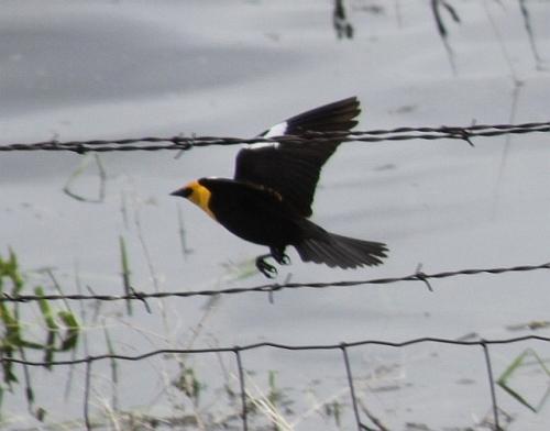 Yellow_headed_black_bird_163