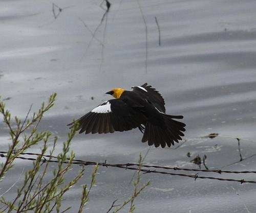 Yellow_headed_black_bird_165