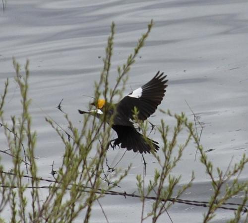 Yellow_headed_black_bird_166