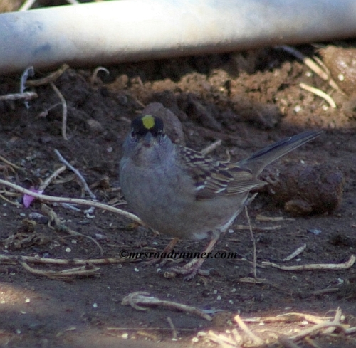 Golden_crowned_sparrow_tagged_062