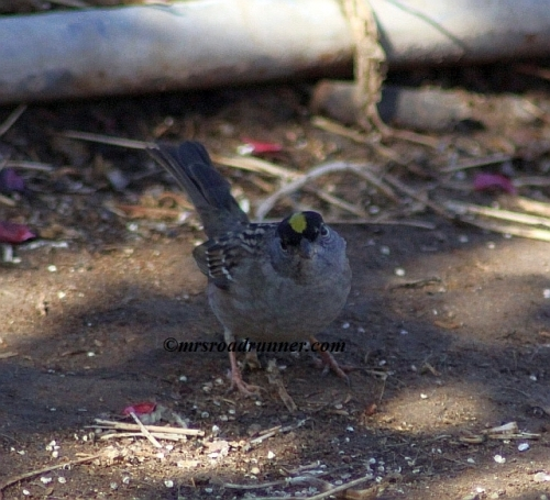 Golden_crowned_sparrow_tagged_069