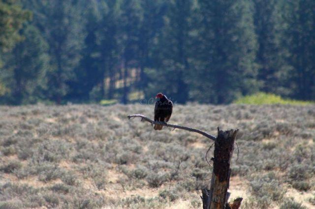 turkey vulture 189
